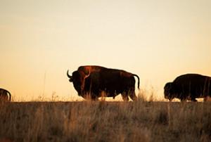bison-inset-320